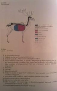 nagyvad anatómiája