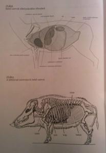 szarvas anatómiája