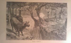 bivaly vadászat
