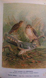 ragadozó madarak1