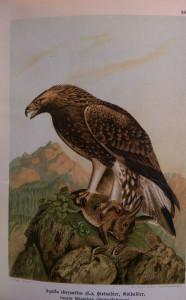 ragadozó madarak2