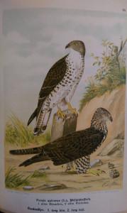 ragadozó madarak3