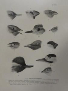 Magyarország madarai chernel 3