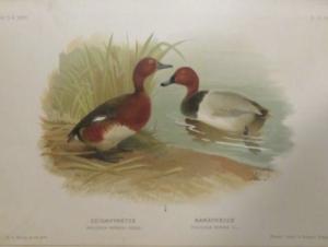 Magyarország madarai chernel 4