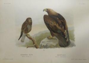 Magyarország madarai chernel 6