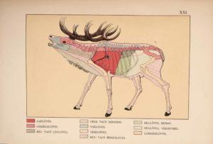 Balkay Adolf - A szarvas és vadászata illusztracio