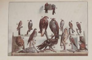 Szemere Zoltán A Magyarországon előforduló ragadozó madarak meghatározója 2