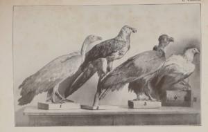 Szemere Zoltán A Magyarországon előforduló ragadozó madarak meghatározója 3