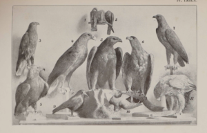 Szemere Zoltán A Magyarországon előforduló ragadozó madarak meghatározója 4
